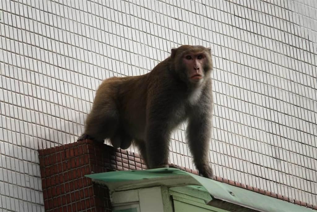 台北市考試院附近驚見猴子出沒,住戶拍下他悠哉身影。(照片來源:臉書《木柵社團》)