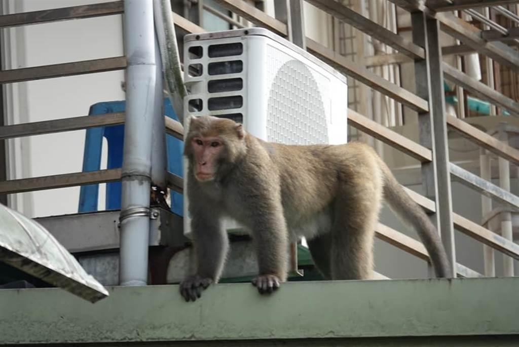台北市考試院附近驚見猴子出沒,在電線、雨遮遊走。(照片來源:臉書《木柵社團》)