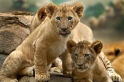倔強幼獅不敢洗澡翻牆越獄 被逼泡水太舒服秒妥協