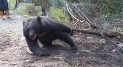 即刻救援!台灣黑熊受困哀嚎 入果園誤中陷阱
