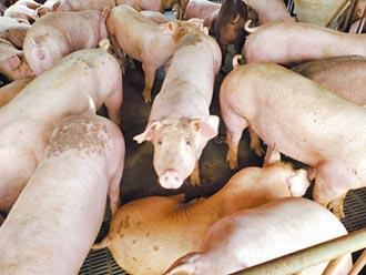 台灣豬農也養過萊豬 關鍵錄音檔曝光
