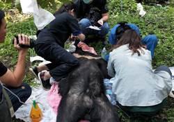 斷掌台灣黑熊三度遇劫 中市農業局籲農友勿用獸鋏