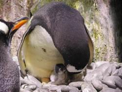 屏東海生館企鵝寶寶誕生 可愛模樣遊客爭睹