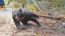黑熊誤觸陷阱 掙扎哀嚎20小時
