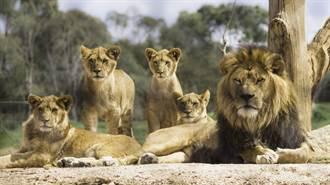 7獅偷溜出門捕食10隻羊惹禍 慘被國家公園殺光
