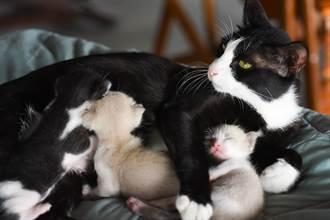 貓爸太熱情幼崽被嚇到跌倒 貓媽秒變「母老虎」毆豬隊友