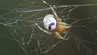 蜘蛛背上自帶「翹鬍子」 網驚:吃品客長大的?