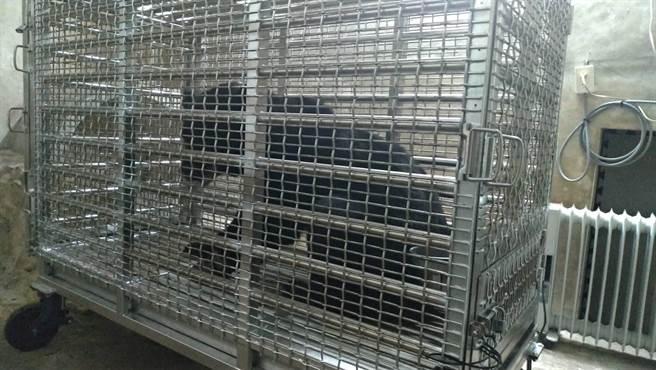 編號711台灣黑熊經過一夜休養目前傷勢穩定,已能站立,並飲水及食用蔬果。(東勢林管處提供/王文吉台中傳真)