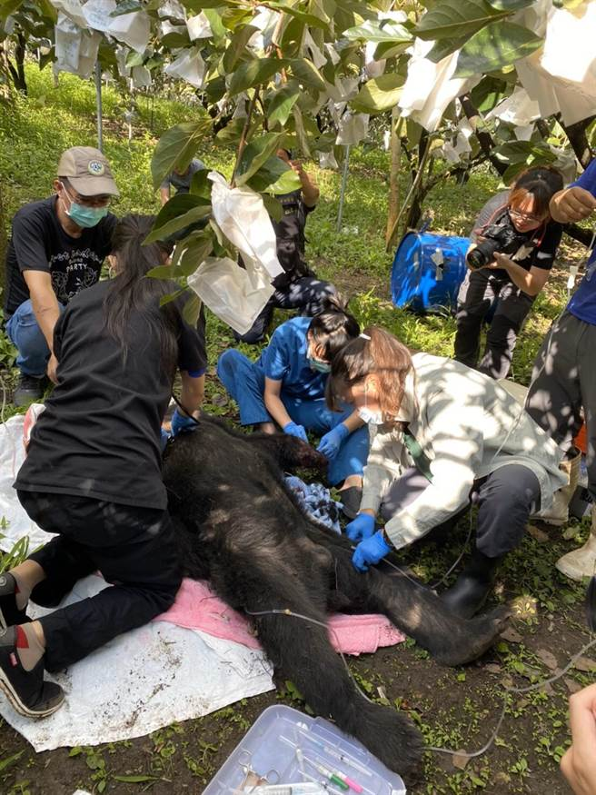 編號711台灣黑熊誤人陷阱,特有生物保育研究中心野生動物急救站獸醫團隊動員救援。(東勢林管處提供/王文吉台中傳真)