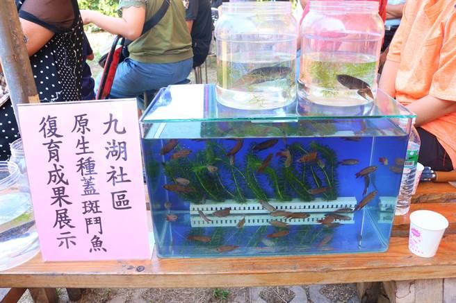 銅鑼九湖社區原生種蓋斑鬥魚復育成果展示。(巫靜婷攝)