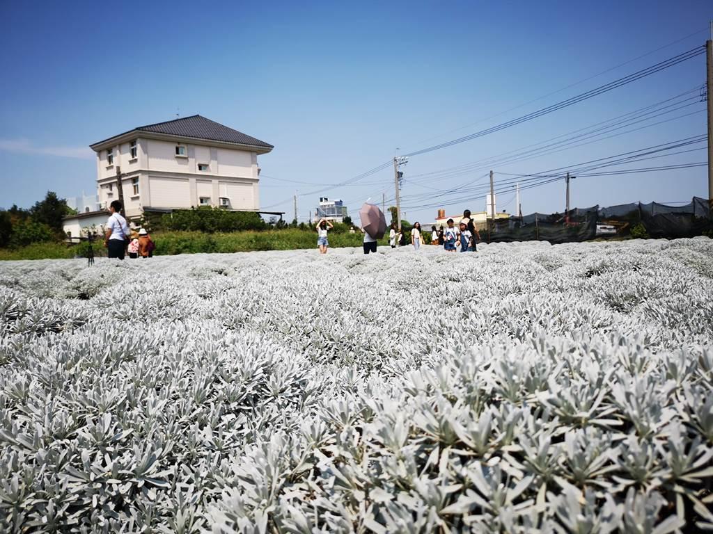 彰化田尾芙蓉草祕境,整片灰白色的葉子,讓人會有走在雪地上的錯覺,現場感覺相當奇幻。(吳建輝攝)
