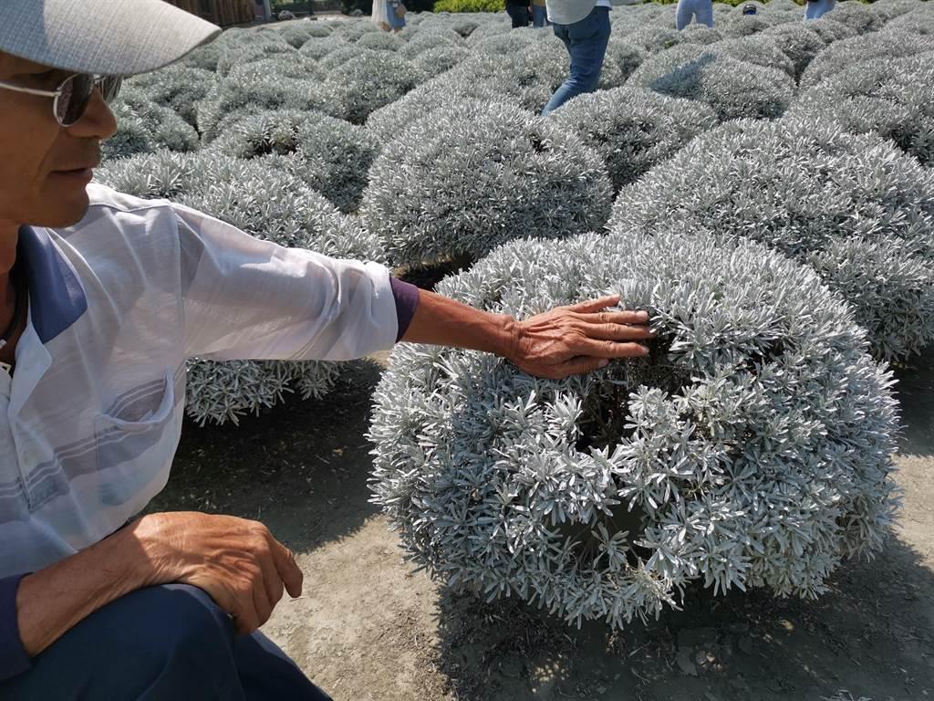 江建華說,要長到現場這種60*60cm大小的,至少要2年時間,開放到現在應該損失有1/4的芙蓉菊,後續受傷破損的芙蓉菊,少說也要半年至一年才能夠再販售。(吳建輝攝)