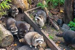 遛狗遇14浣熊強盜討食物 望向樹叢驚覺「被猛獸窺視」