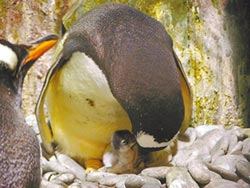 海生館企鵝寶寶探頭 季節限定