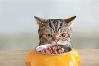 買寵物餐桌護脊椎 見貓皇「解鎖新姿勢」奴才臉綠了
