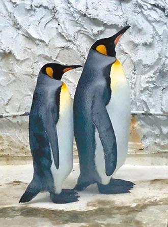 日本國王企鵝抵台 期帶來好孕