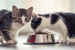 小奶喵吃罐罐被3度抢劫 吃货猫「六亲不认」狂伸爪