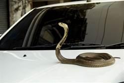 開車驚魂記!擋風玻璃突竄巨蛇 駕駛哭慘了