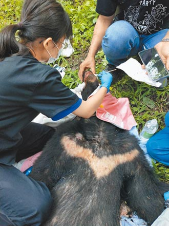 黑熊傷勢穩定 將換籠擇期野放