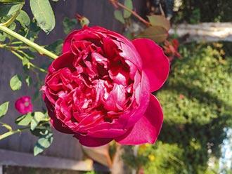 玫瑰精油療癒身心靈 臺北玫瑰園隱藏名貴「液體黃金」