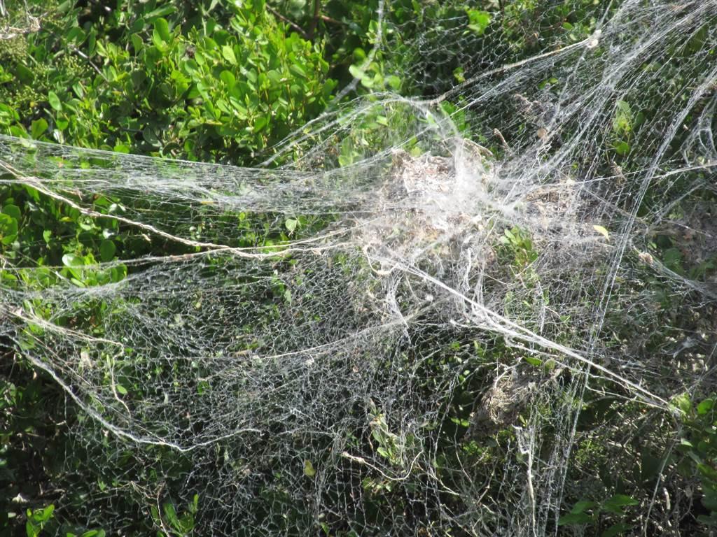 樹林驚見巨無霸蜘蛛網 網一看嚇:纏到恐動彈不得(示意圖/達志影像)