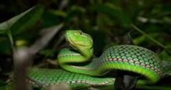 網購寵物蛇遭咬傷小孩險喪命 沒想到竟然是劇毒竹葉青
