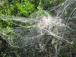 樹林驚見巨無霸蜘蛛網 網一看嚇:纏到恐動彈不得