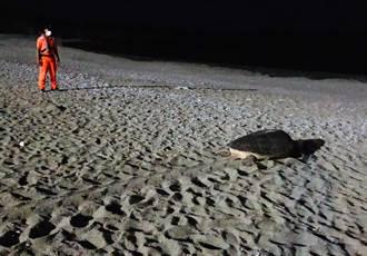 海龜媽媽蘭嶼沙灘產卵 海巡3小時暖心守護