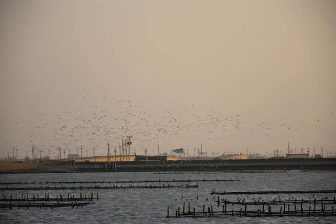 時序入秋,台南北門潟湖一帶已經有數千黑腹燕鷗前來度冬,預計11月會進入高峰期,今年海堤沒有工程,棲地驚擾少,居民認為黑腹燕鷗數量應會逐漸回復。(讀者提供/莊曜聰台南傳真)