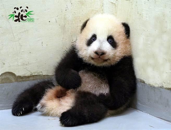 雖然還不太會走路,但圓寶會自己爬到牆角喬一個舒服的姿勢休息,很懂得享受(圖/台北市立動物園提供)