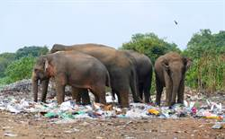 攝影師跟拍瘦弱大象 驚見全家垃圾堆中絕望覓食