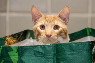 盒裡藏飼料?蠢貓頭硬擠進小洞狂找 成果百萬人笑炸