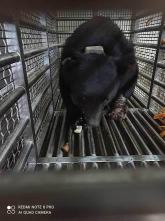 不讓黑熊再誤傷 林務局:加強推廣電圍籬、精準式陷阱