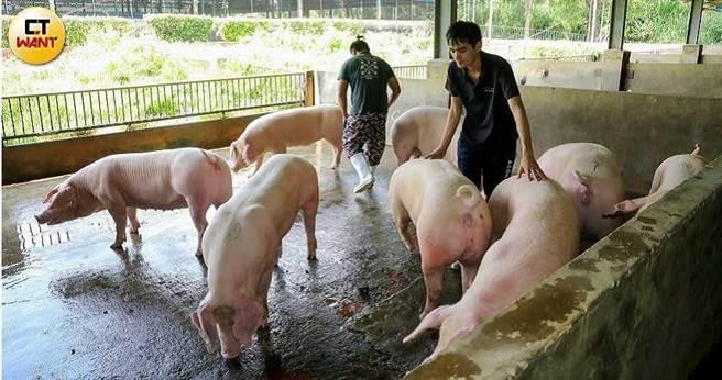 政府官員頻頻下鄉施壓「滅火」,讓豬農對於是否要大動作走上街頭抗議萊劑美豬仍在觀望。(圖/王永泰攝)
