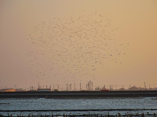 時序入秋,又來到台南濱海地區候鳥期,北門潟湖一帶已經有數千隻黑腹燕鷗前來度冬,預計11月會進入高峰期。(讀者提供/莊曜聰台南傳真)