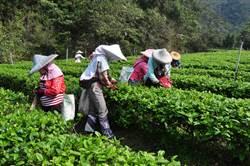 陸客、海外觀光客不來 農糧署長曝茶葉業者隱憂
