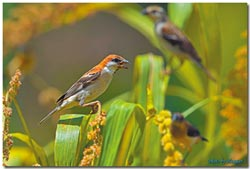 保育山麻雀 今年92隻幼鳥離巢