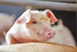 母豬不賣、飼料漲 豬價回不去