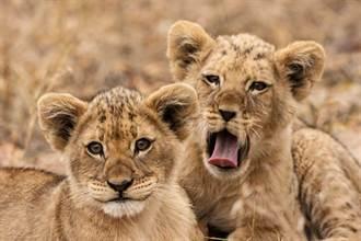 幼獅被親媽攻擊咬到受傷 德牧暖心收養反應驚人