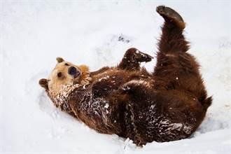 地表最胖的熊像「波音747」 啤酒肚大到垂地拖著走