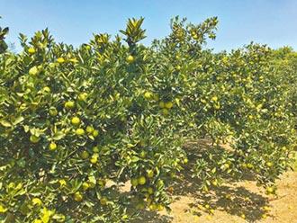 柳丁產期將屆 農民憂低價