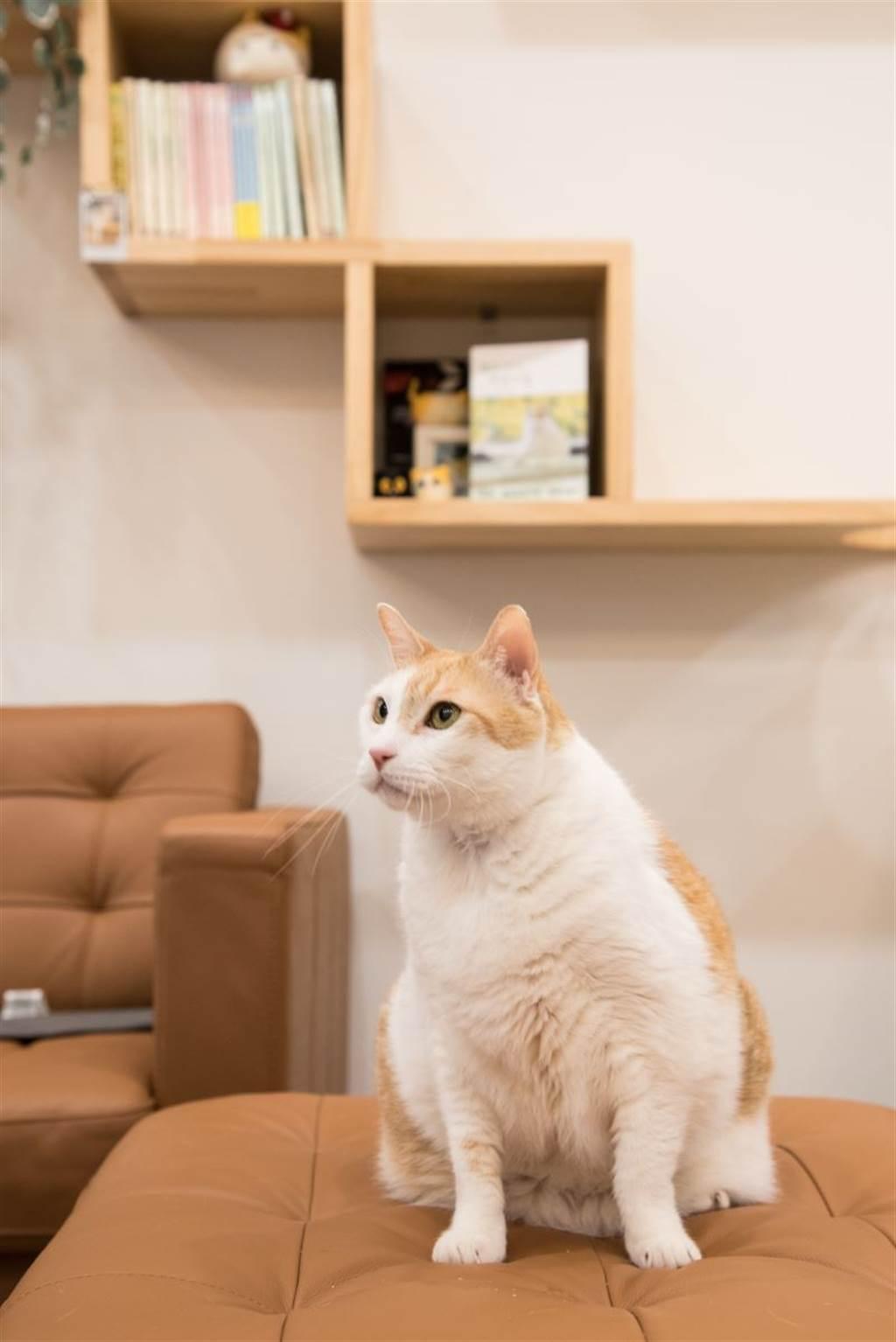 貓網紅「黃阿瑪」不僅有喬遷之喜,後宮還多了新室友「小花」。