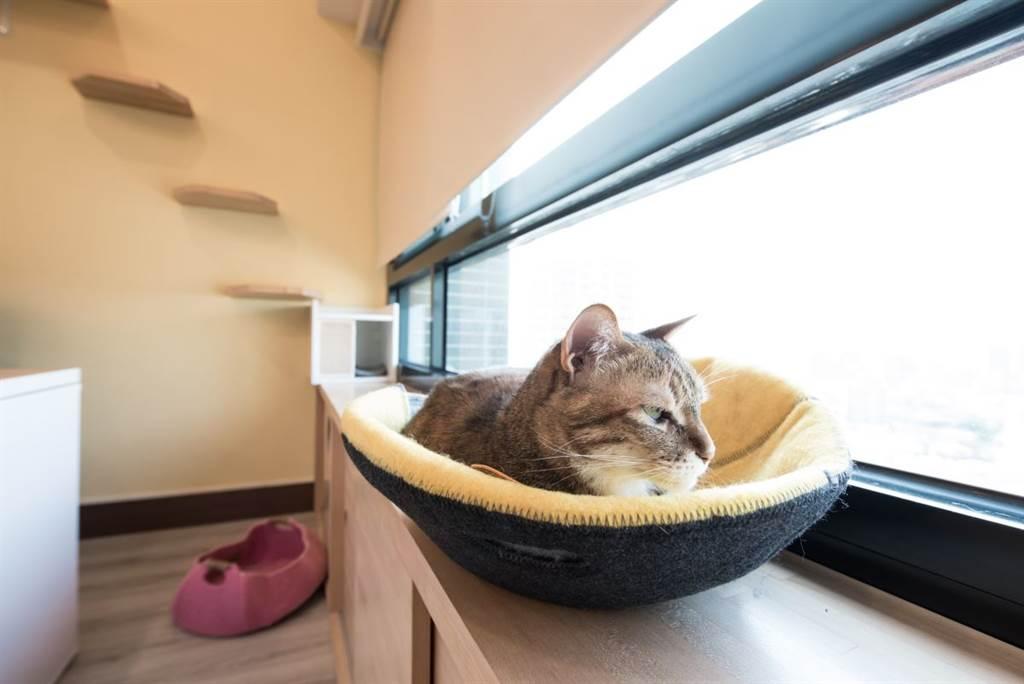 招弟喜歡眺望窗外,她選擇小幫手的辦公室久待,這裡有訂做的窗邊櫃,直接切齊窗台的高度,讓貓咪可以趴在上面享受「君臨四方」的遼闊視野。