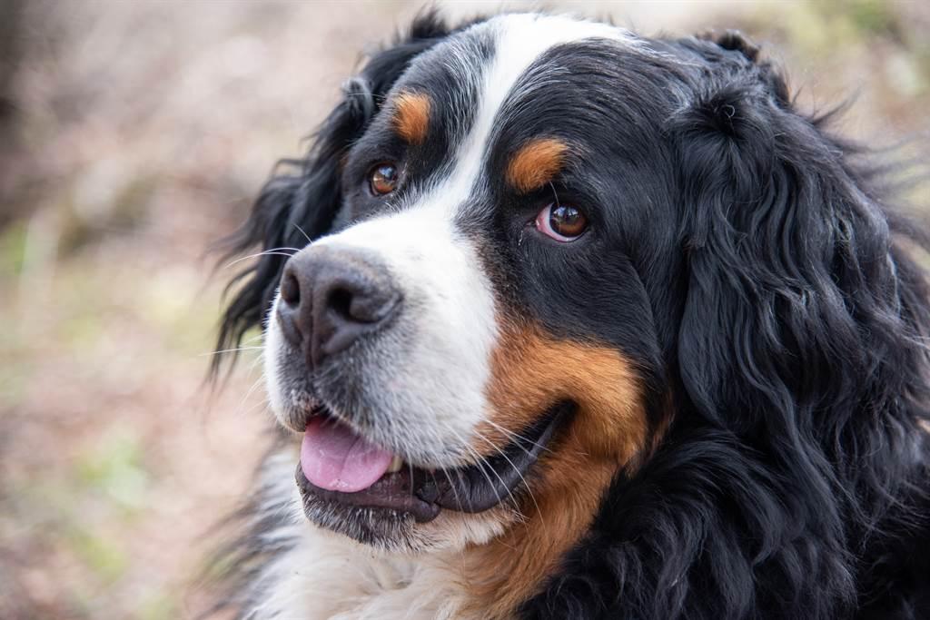 伯恩山犬「Kiwi」偷吃8顆鳳凰酥,最終因胰臟炎引起多重器官衰竭而過世(示意圖/達志影像)