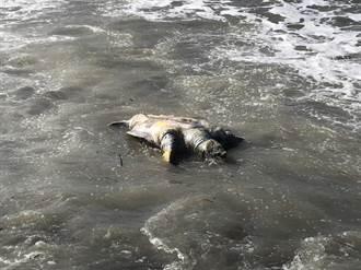 苗栗岸際發現死亡綠蠵龜 海巡協助就地掩埋