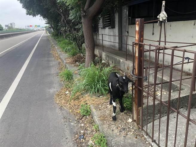 一隻黑羊走失逃竄在西濱快速道路,由警方協助送回飼主。(竹南警分局提供/謝明俊苗栗傳真)