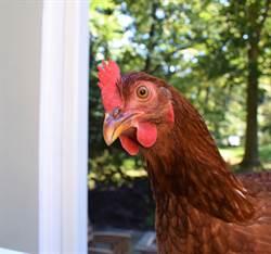 流浪公雞晃進客廳「強迫收編」沒想到比狗還黏人
