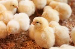 2.6萬隻小雞遭惡意遺棄機場 慘剩3千隻靠「吃同伴屍體」活命
