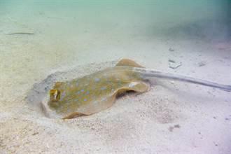 衰男沙灘散步踩到魟魚 下秒「12公分毒鉤」插爆小腿