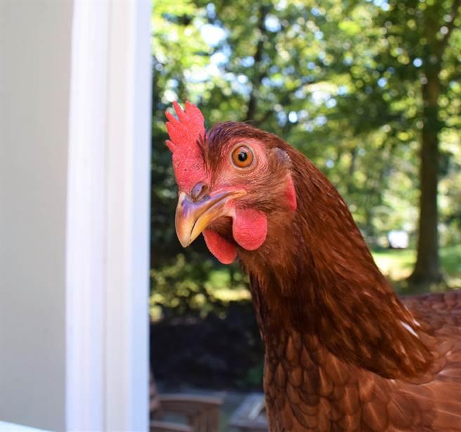 流浪公雞晃進客廳「強迫收編」沒想到比狗還黏人(示意圖/達志影像)